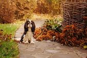 spaniel dog walking in november garden. Late autumn view with rustic fence and stone pathway poster