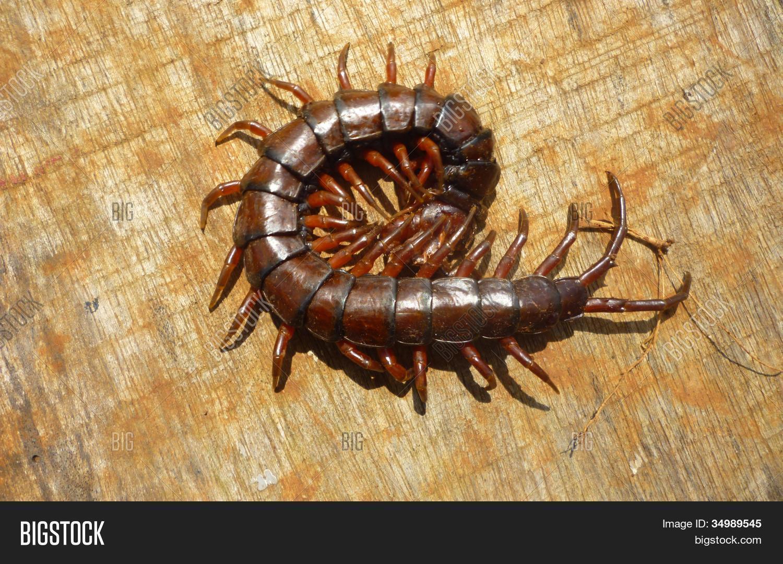 Giant Centipede Image & Photo (Free Trial) | Bigstock