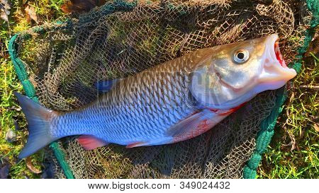Catch of fish. Big European Chub on fishing net.