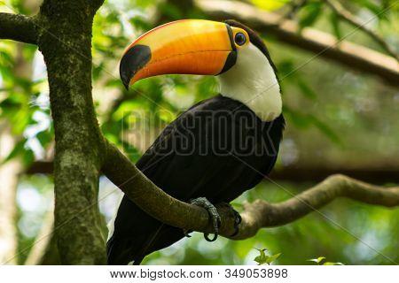 Toucan In A Tree At Parque Das Aves, Foz Do Iguaçu