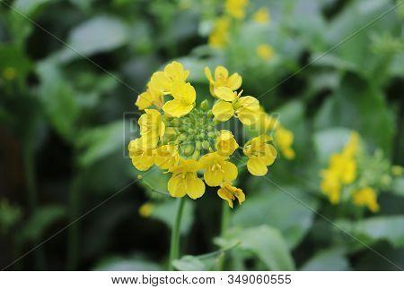 Mustard Flower. Beautiful Yellow Mustard Flower In The Fields
