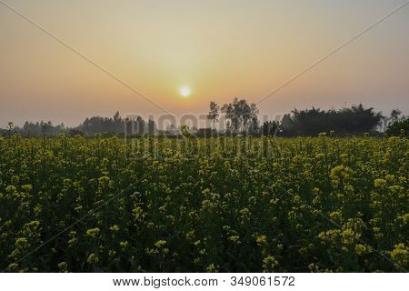Yellow Mustard Flower In The Fields And Sunlight