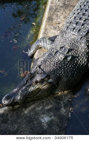 Big Sleeping Crocodile In Zoo