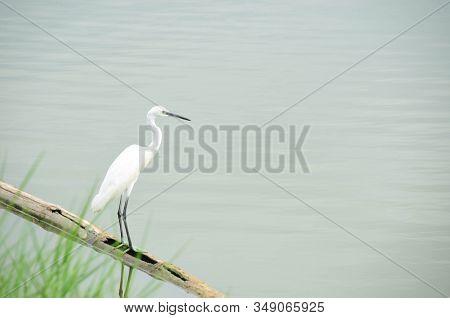 Chinese Heron Or Bittern Or Egretta Eulophotes Bird In Wetland Near Mangrove Forest
