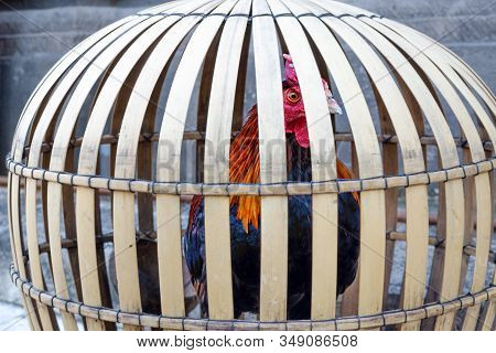 Rooster In A Bamboo Cage. Concept Of Bondage And Restriction Of Freedom.