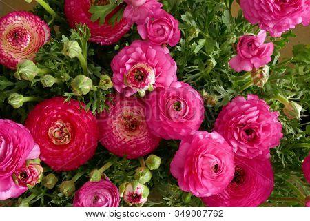 Ranunculus Flower Background.pink Ranunculus Flowers Set.top View Floral Pattern. Spring Floral Back