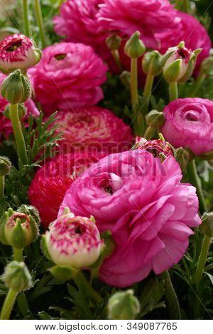 Ranunculus Flower Background.pink Ranunculus Flowers Set.top View Floral Pattern.tender Spring Flora