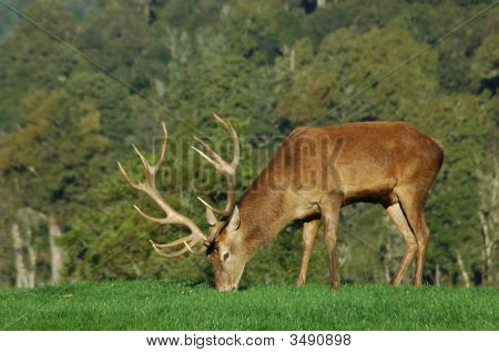 a 13 point red deer stag of 288 SCI West Coast South Island New Zealand poster