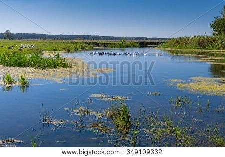 Pictorial Summer Landscape With Small River Merla And Flock Of Home Geese, Poltavskaya Oblast,  Ukra
