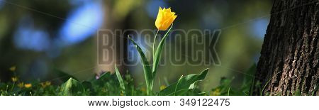 Single Yellow Tulip In Blossoming Between The Grass. The First Flowers In Spring After Hibernation I