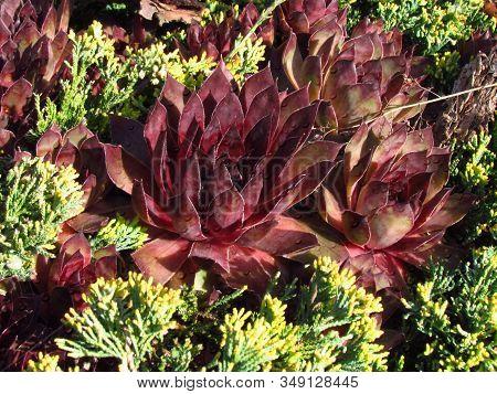 Houseleeks, Latin Name Sempervivum, Crassulaceae Family, Colorful Cultivar Of Popular Garden Plant