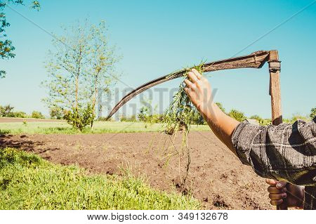Authentic Rural Farmer Clean Scythe With Grass. Agriculture Worker. Vegetable Garden. Farm Implement