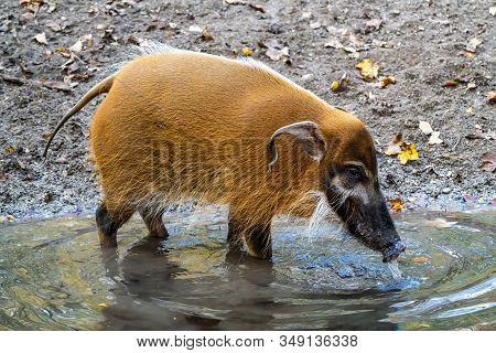 Red River Hog, Potamochoerus Porcus, Also Known As The Bush Pig.