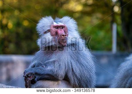 The Hamadryas Baboon, Papio Hamadryas Is A Species Of Baboon