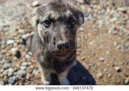 Cute Gray Puppy Pooch Portrait On Rural Scene Backgroung.