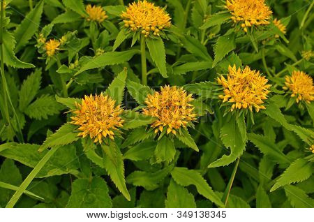 The Texture Of The Leaves And Flowers Rhodiola Rosea.
