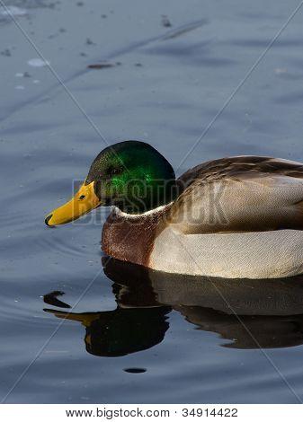 Swimming Mallard