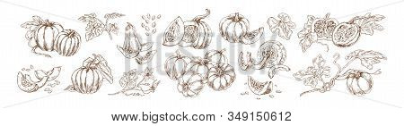 Pumpkin Set Monochrome Drawings Vector Illustration. Traditional Autumn Harvest Whole, Slice And Hal