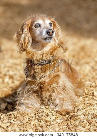 Long-haired Dachshund Male. Off-leash Dog Park In Northern California.