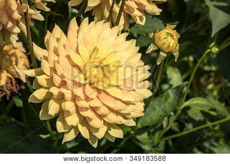 Yellow Dahlia In The Summer Flower Graden