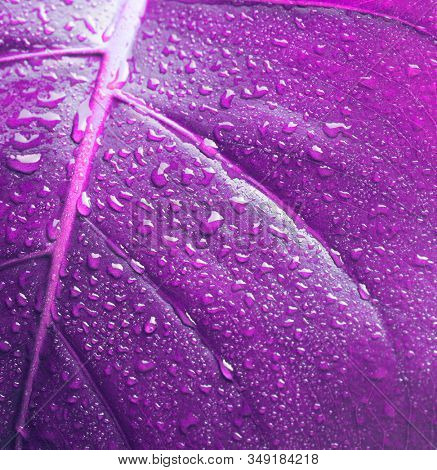Violet laef with drops. Nature background. Saturation color.