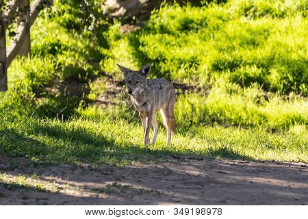 Large coyote on a morning prowl at Santa Susana Pass State Historic Park near Los Angeles and Simi Valley in Southern California.