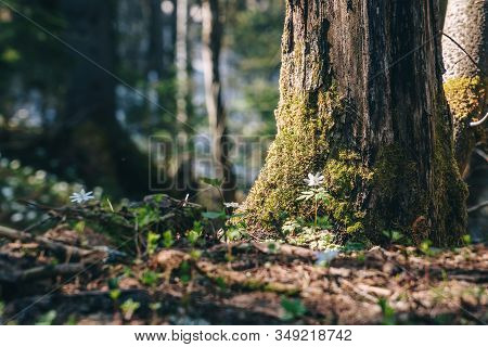 Spring Forest At Bright Sunny Day, Closeup.
