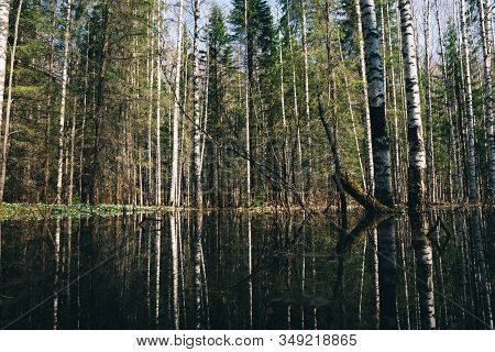 High Water In Spring Forest, Flooded Trees In Bright Sunny Morning After River Flood