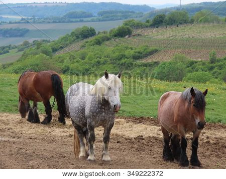 Horse Herd - Mares With Foals, Grey Dapple, Bay, Roan, In Mountain Pasture With Valley In Background