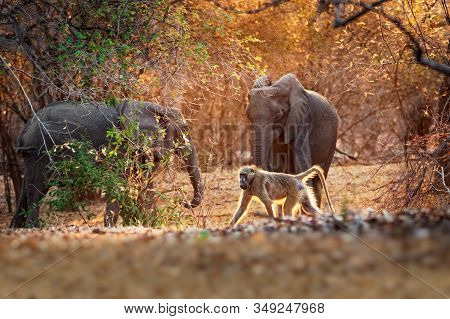 Chacma Baboon - Papio Ursinus Griseipes  Or Cape Baboon And African Bush Elephant - Loxodonta Africa