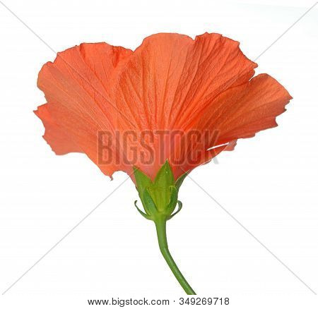 Orange Color Hibiscus Flower Isolated On White