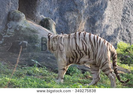 Bend Body White Male Tiger Near By Big Tiger Rock In Chennai ,lets Go Animals Wild For Wildlife. Und