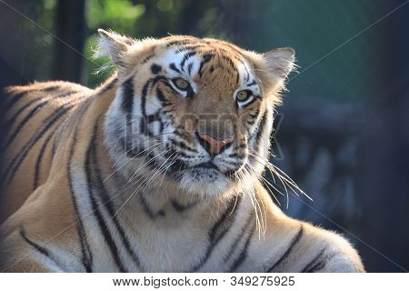 Close Up Of Sad Tiger , Male Tiger,lets Go Animals Wild For Wildlife. Undomesticated Animal Species