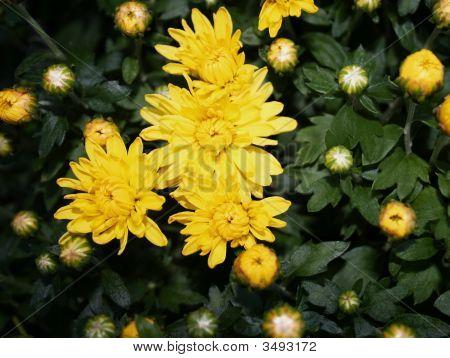 Yellow Mums With Foliage