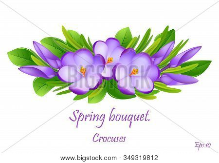 The First Spring Flowers Crocus. Spring Fragrant Flowers Of Crocus And Green Grass. Spring Bright Fl