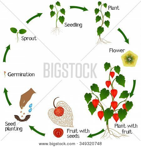 A Growth Cycle Of Physalis Plant On A White Background.