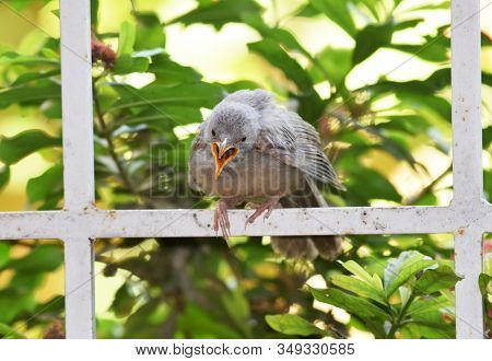 Indian Juvenile Jungle Babbler Also Known As Seven Sisters Scientific Name Argya Striata Seen Callin