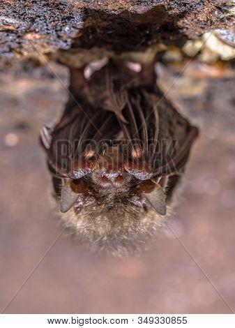 Common Long-eared Bat (plecotus Auritus) Hibernating On Ceiling Of Underground Bunker In The Nethera