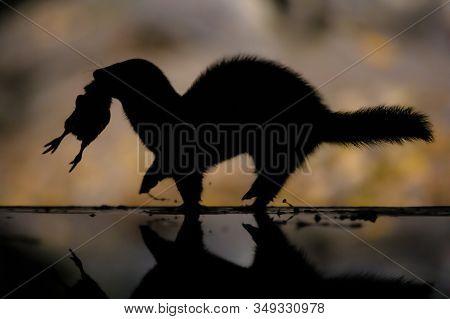 European Polecat (mustela Putorius) Running With Prey Bird In Natural Environment In Darkness At Nig