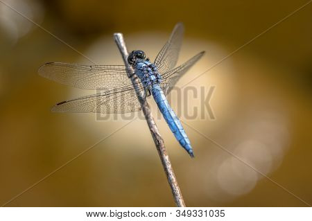 Southern Skimmer (orthetrum Brunneum) Perched On Stick With Tranquil Background