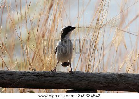 White Browed Sparrow Weaver, Plocepasser Mahali, On A Fence