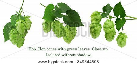 Beautiful Green Hop Leaves With Ripe Flowers, Humulus Flowering Plants.branch With Leaves And Hop Co
