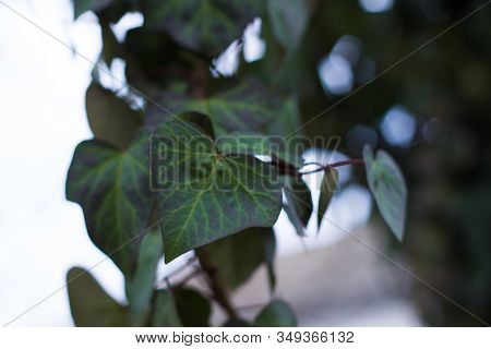 Hedera Helix, The Common Ivy, English Ivy, European Ivy, Or Just Ivy, Species Of Flowering Plant In