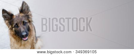 Adorable German Shepherd Dog Looking From Banner To Viewer. Portrait Of A Curious German Shepherd Do