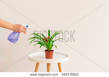Woman Spraying Water On Guzmania Plant In A Pot On White Table On Neutral Background, Copy Space. Pl