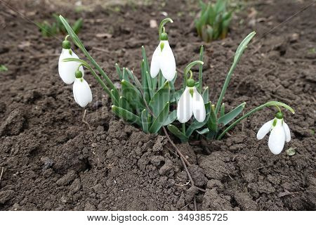 Florescence Of Common Snowdrops In Mid March