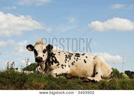 Recumbant Cow