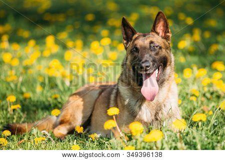 Malinois Dog Sitting Outdoors In Green Spring Meadow. Belgian Shepherd Dog Resting In Green Grass
