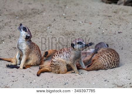 The Meerkat Family Warms Itself For A Century Under The Sun. Meerkats Stand On Their Hind Legs Looki