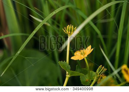 Caltha Palustris, Known As Marsh-marigold And Kingcup, Is A Perennial Herbaceous Plant Of The Butter